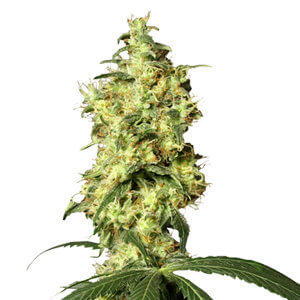 Growers Choice Seeds Discounts & Deals   CannabisCouponCodes